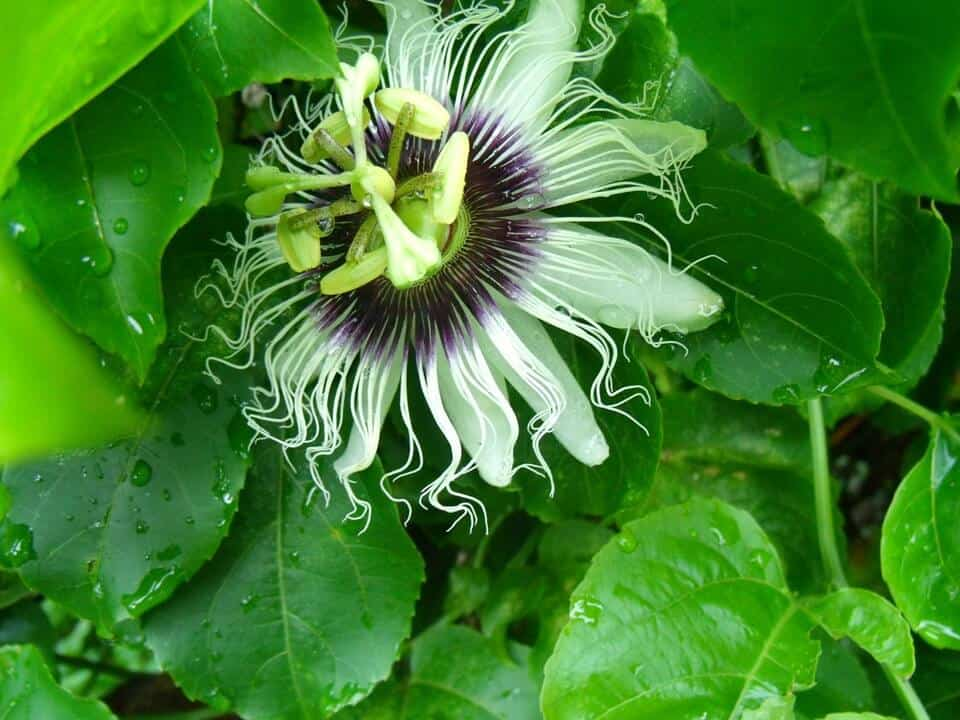 growing passion fruit - flowering passion