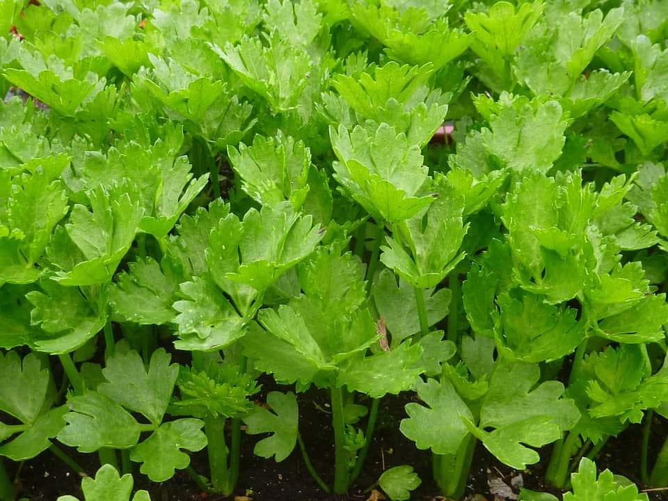 high-value vegetables -celery-
