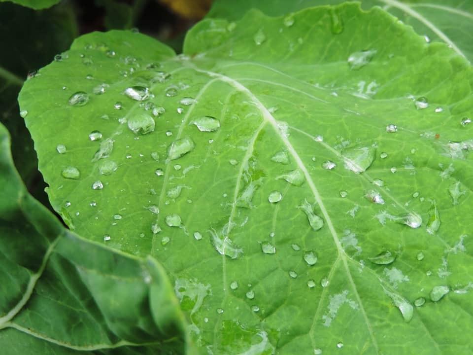 high value vegetables -kale-