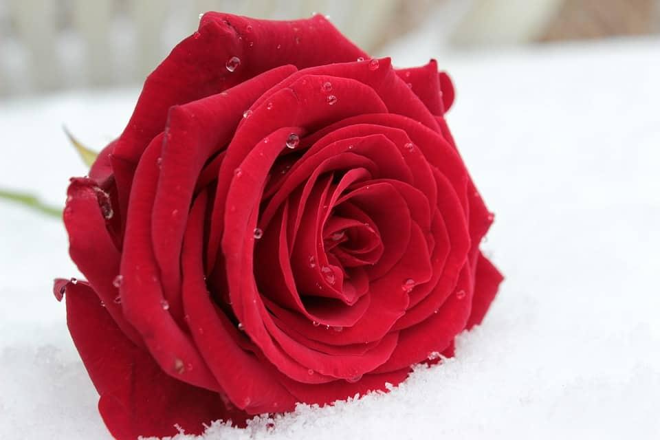 Kenya flower industry