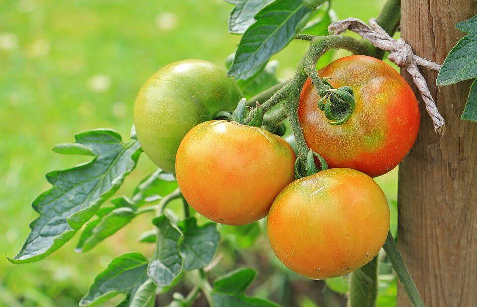 How to control Tuta absoluta on tomatoes