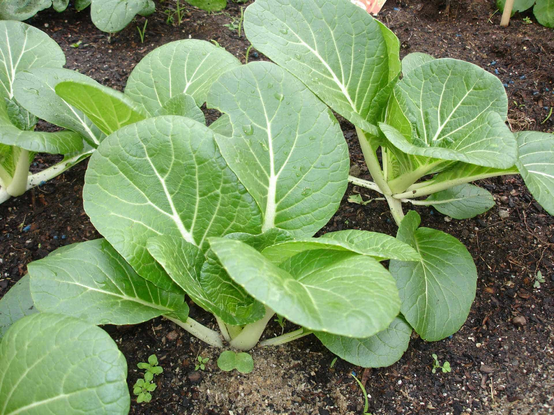Easiest vegetables to grow bok choy