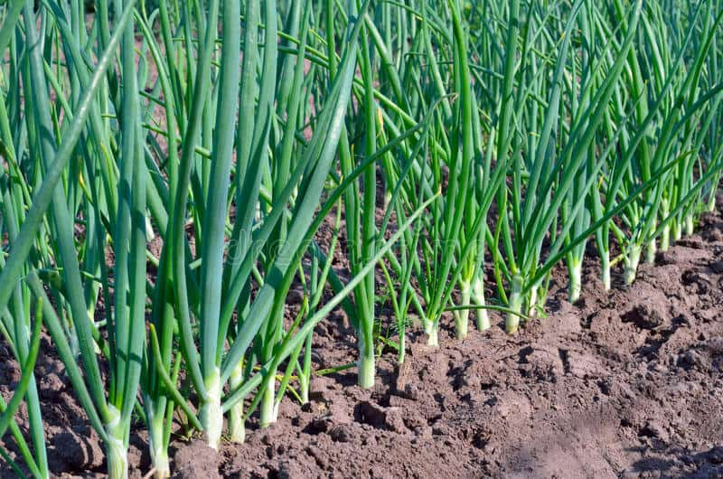 Easiest vegetables to grow scallions
