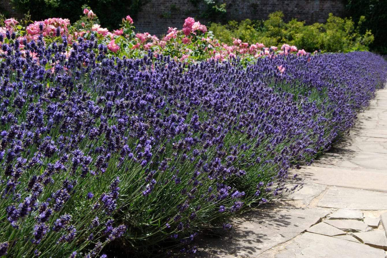 27+ Lavender Varieties for Growing in Pots and Outdoor