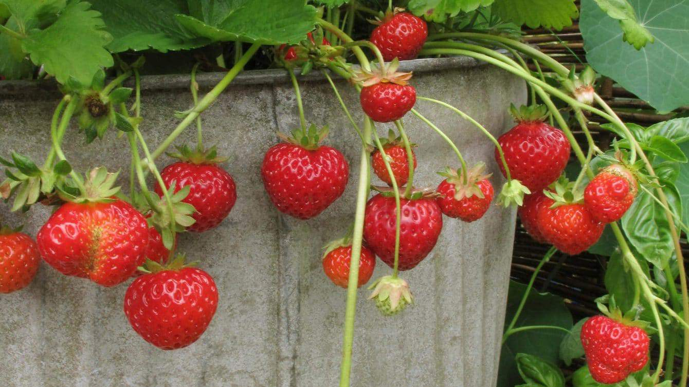 Easy Tips for Growing Strawberries in Pots