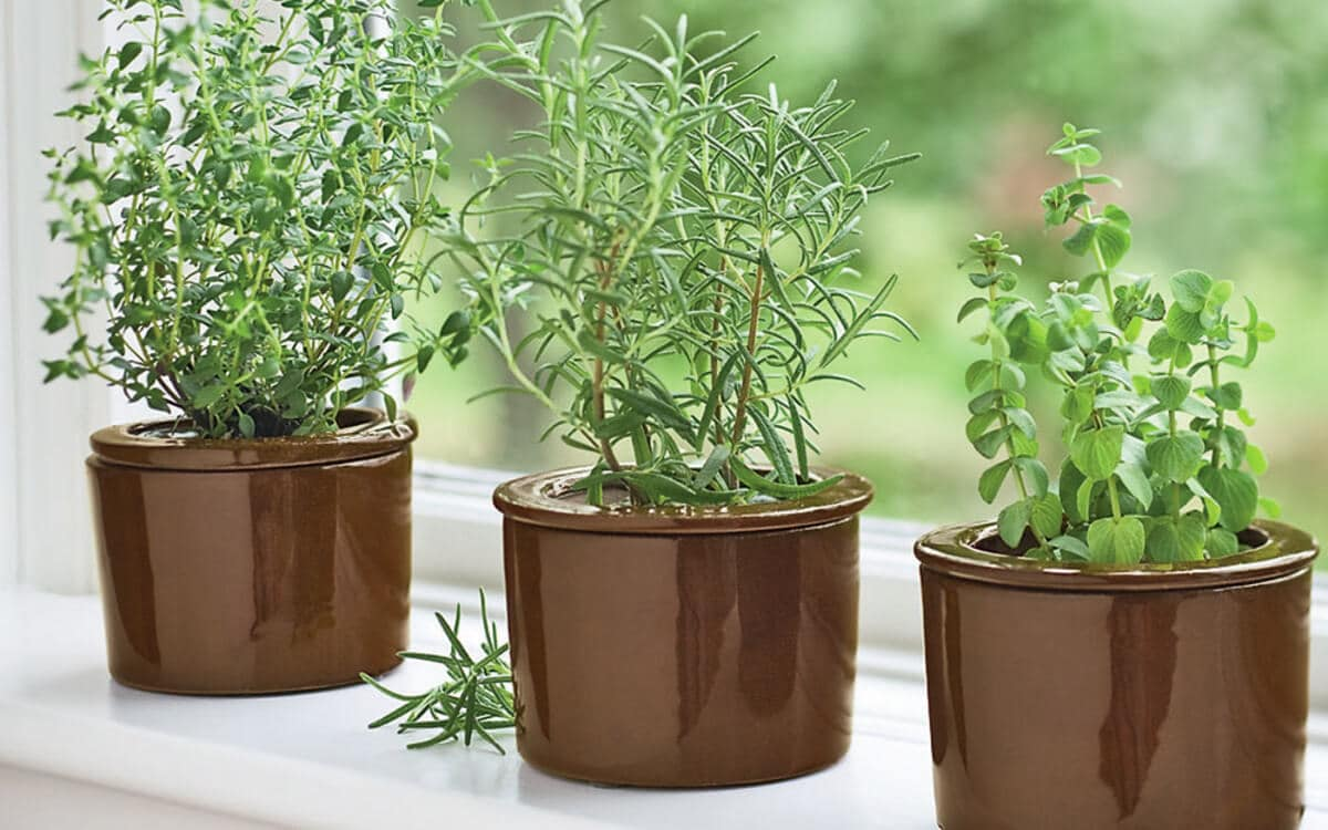 How to Grow Thyme from Seed Step by Step
