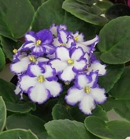 African violet supplies
