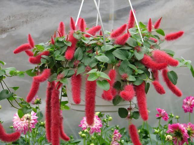 Indoor flowering plants - Chenille plant