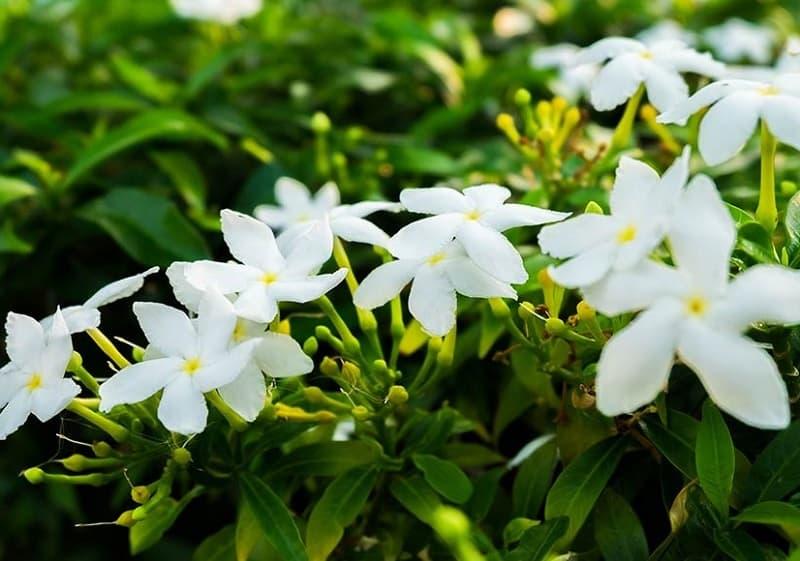Indoor flowering plants - Jasmine