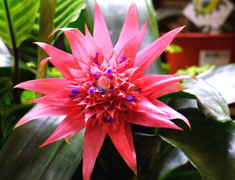 Indoor flowering plants - Silver vase plant