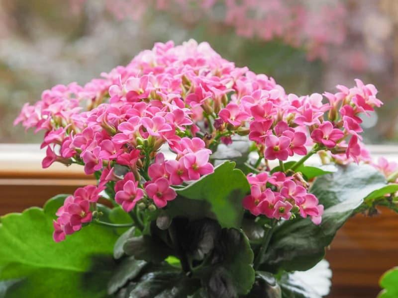 Indoor flowering plants - flowering kalanchoe