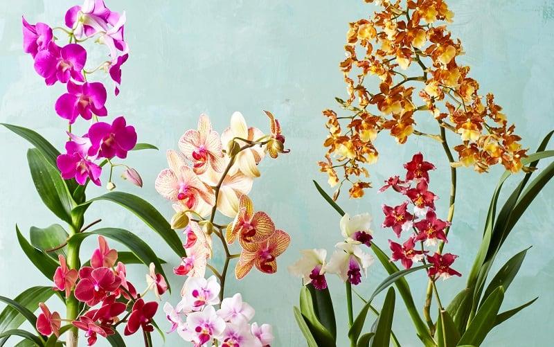 Indoor flowering plants - orchids