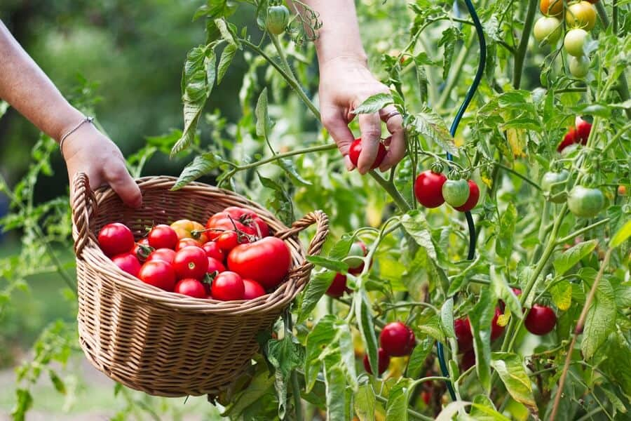 How to start a garden - a tomato vegetable garden