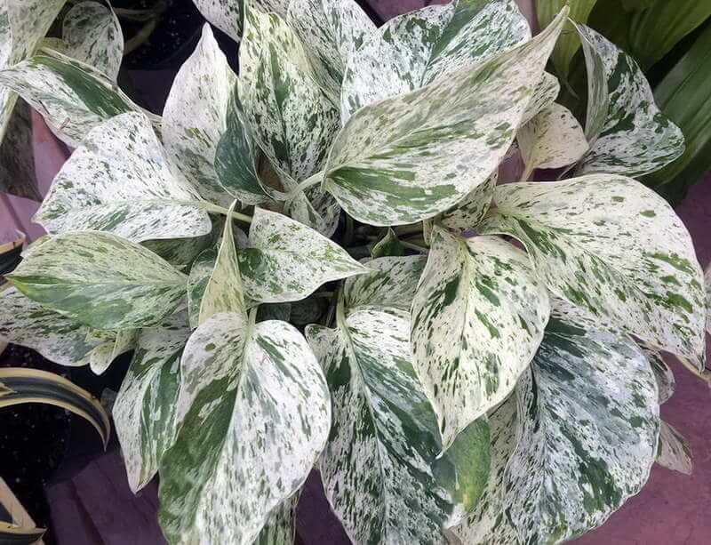 Marble queen pothos plant care