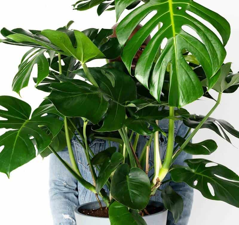 large indoor plants