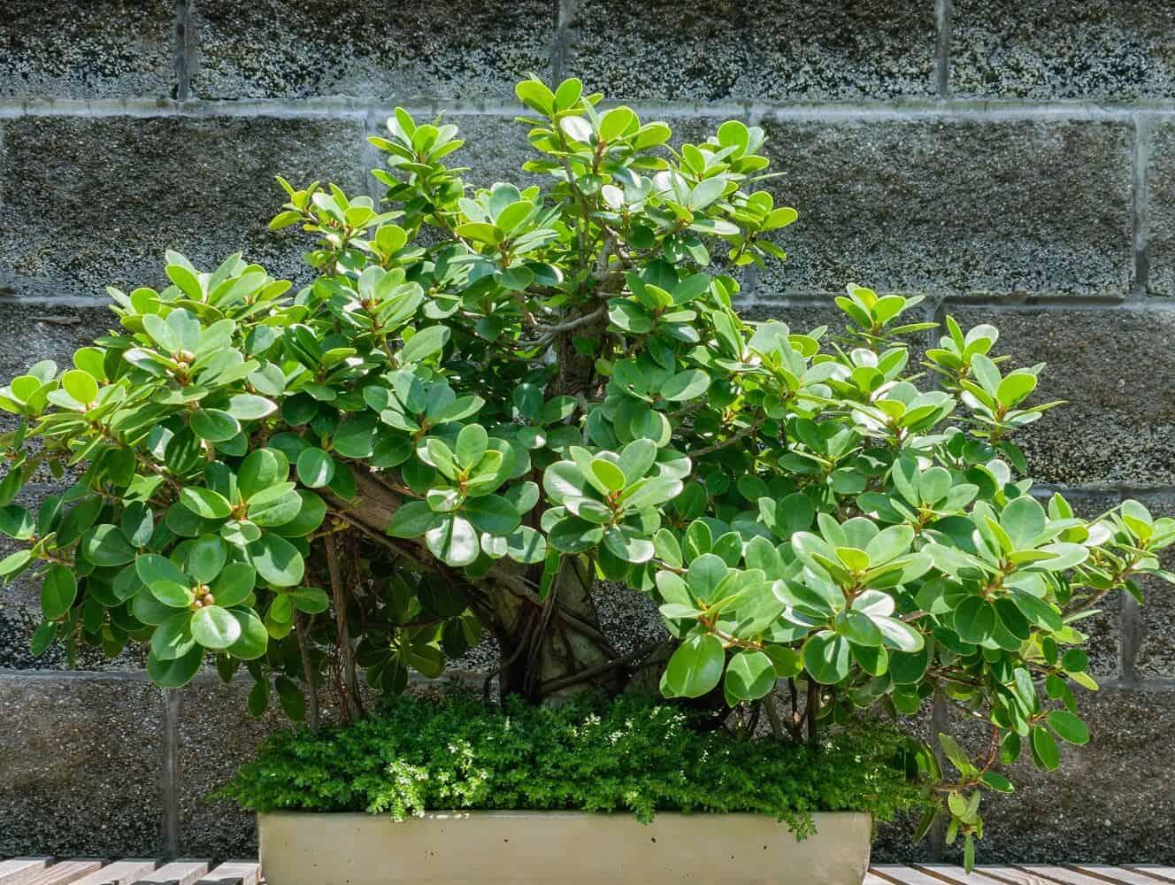 Green Island ficus featured - ficus microcarpa
