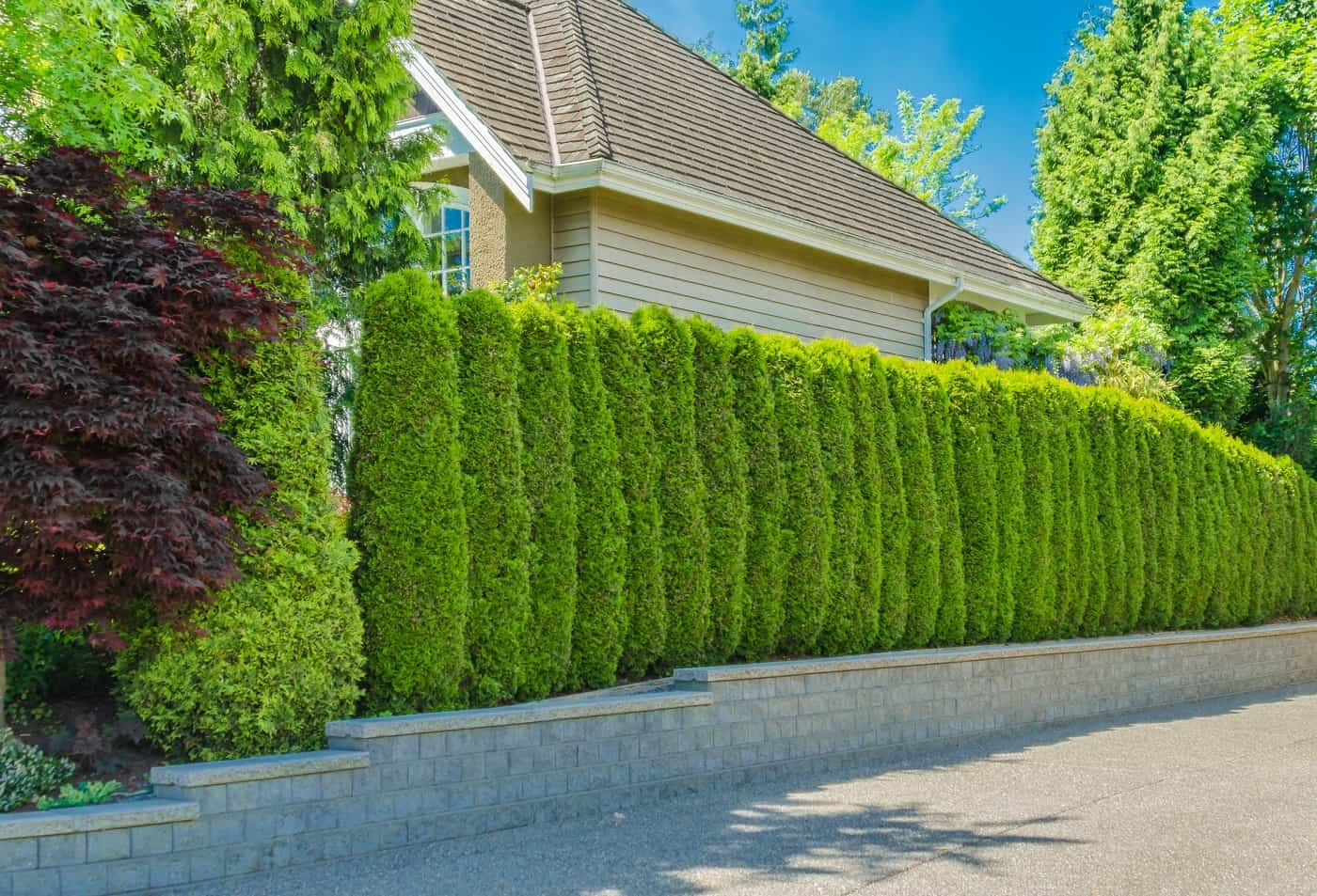Best Trees for Privacy Screen That Grow Fast