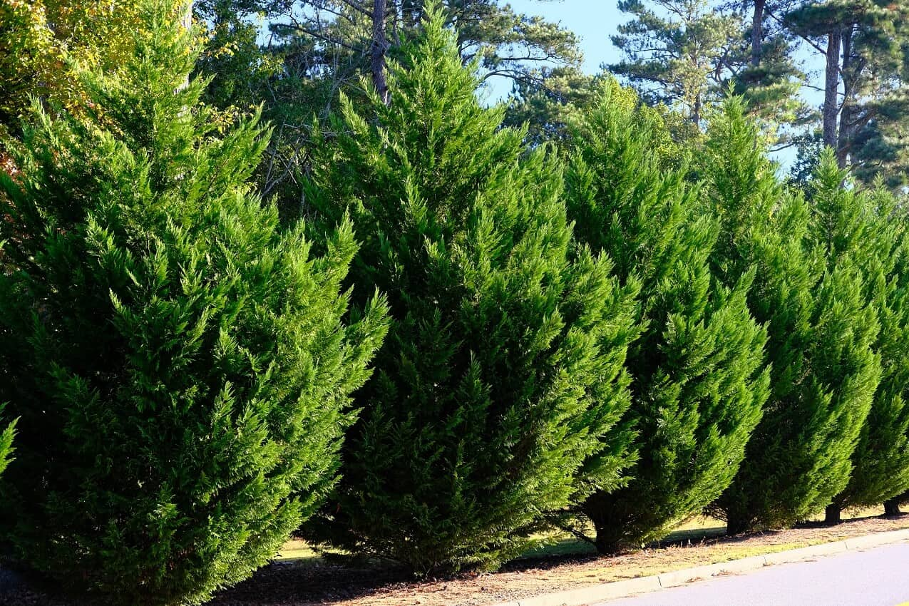 best trees for privacy