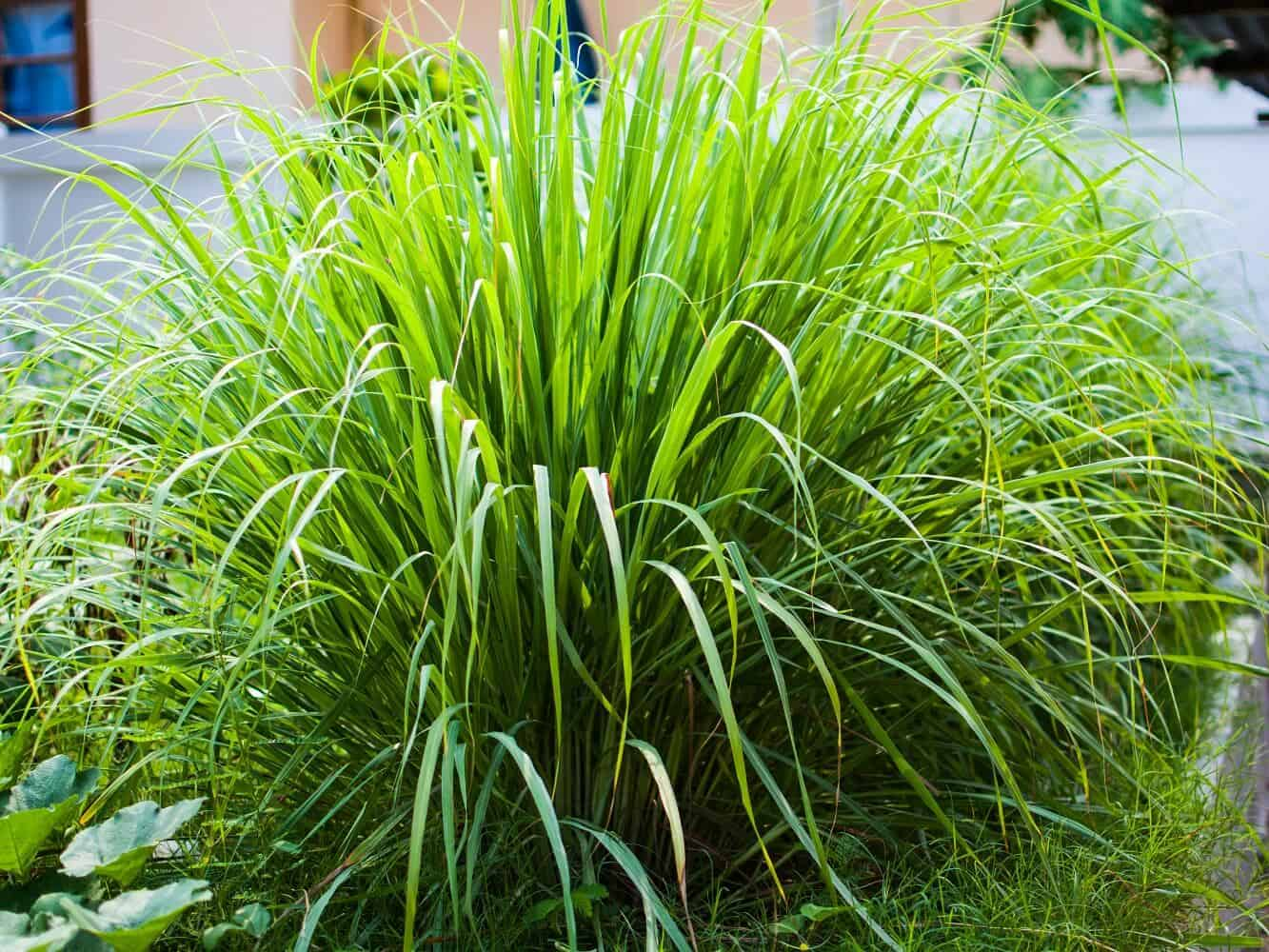 Does Lemongrass Repel Mosquitoes? Here's What Research Says