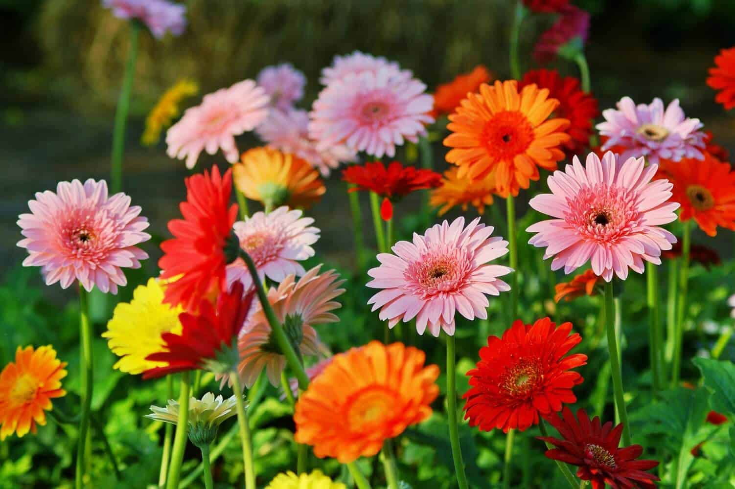 Actionable Tips For Gerbera Daisy Care and Handling