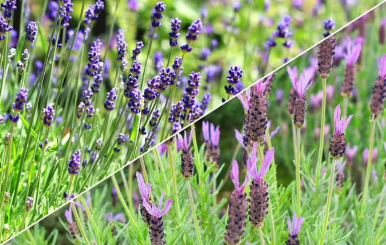 English lavender vs French lavender