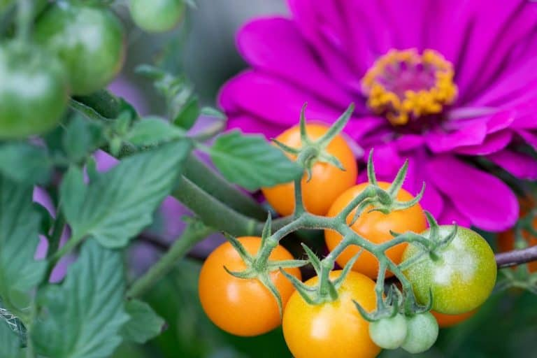 13 Best Companion Plants for Tomatoes