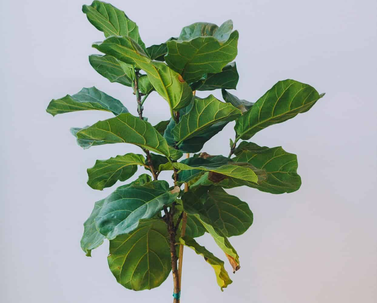 How to Control Brown Spots on Fiddle Leaf Fig