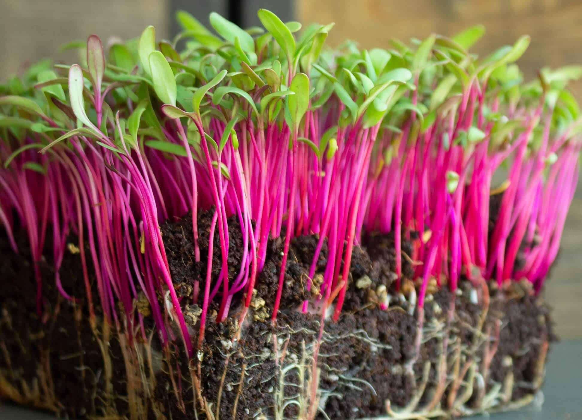 Microgreens to grow