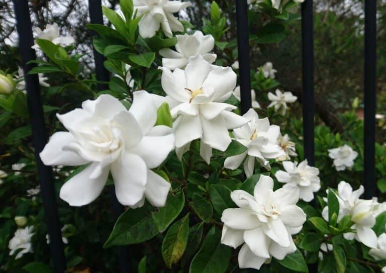 How to Grow Gardenias and Gardenia Bush Care