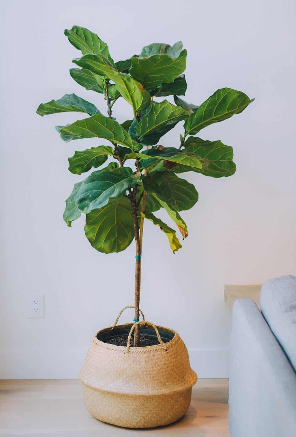 beautiful Ficus lyrata in a pot