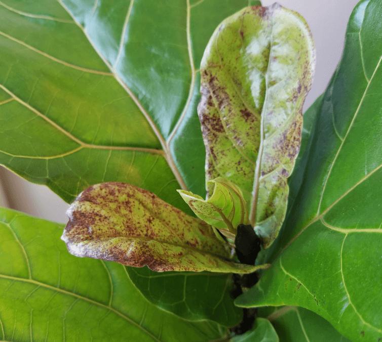 brown spots on fiddle leaf fig - edema