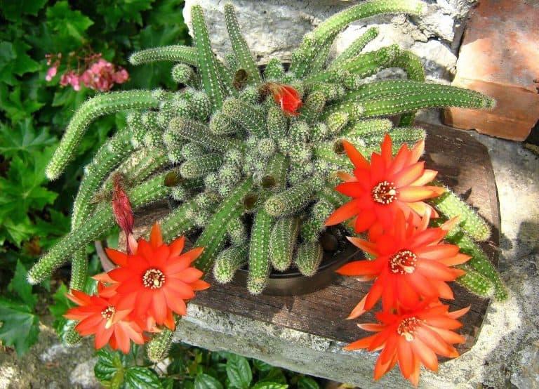Flowering Succulents - Peanut cactus - Echinopsis chamaecereus - featured image