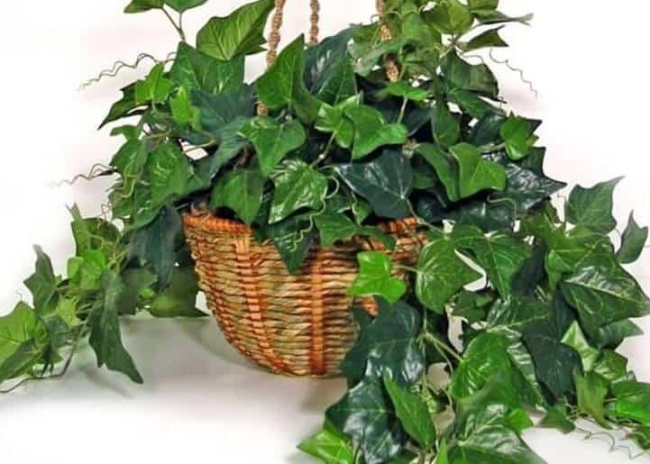 Indoor Vine Plants - English-Ivy