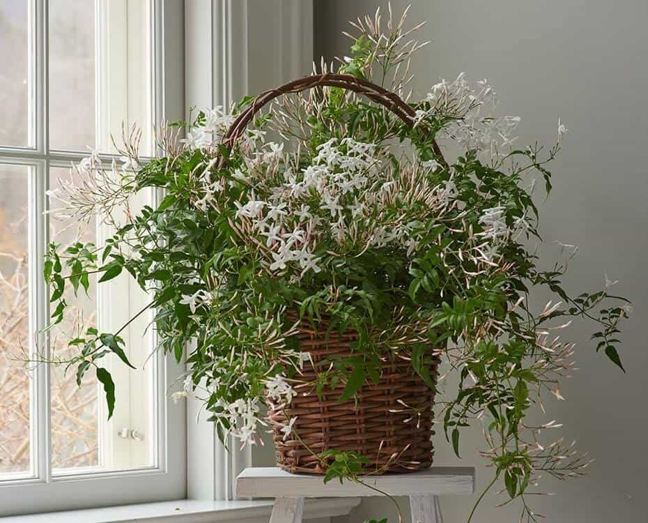 Indoor Vine Plants - Jasmine