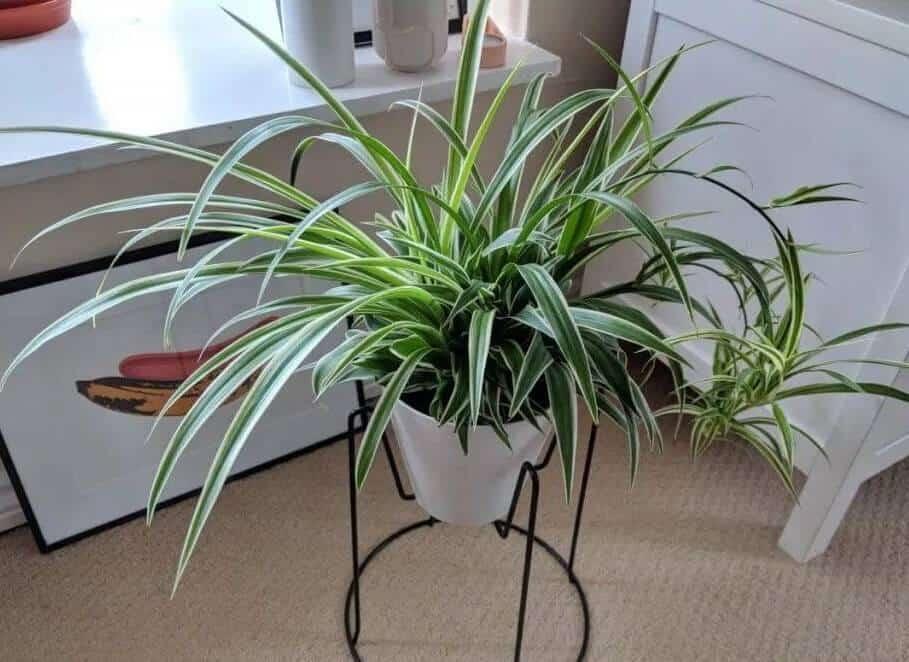 Indoor Vine Plants - Spider Plant
