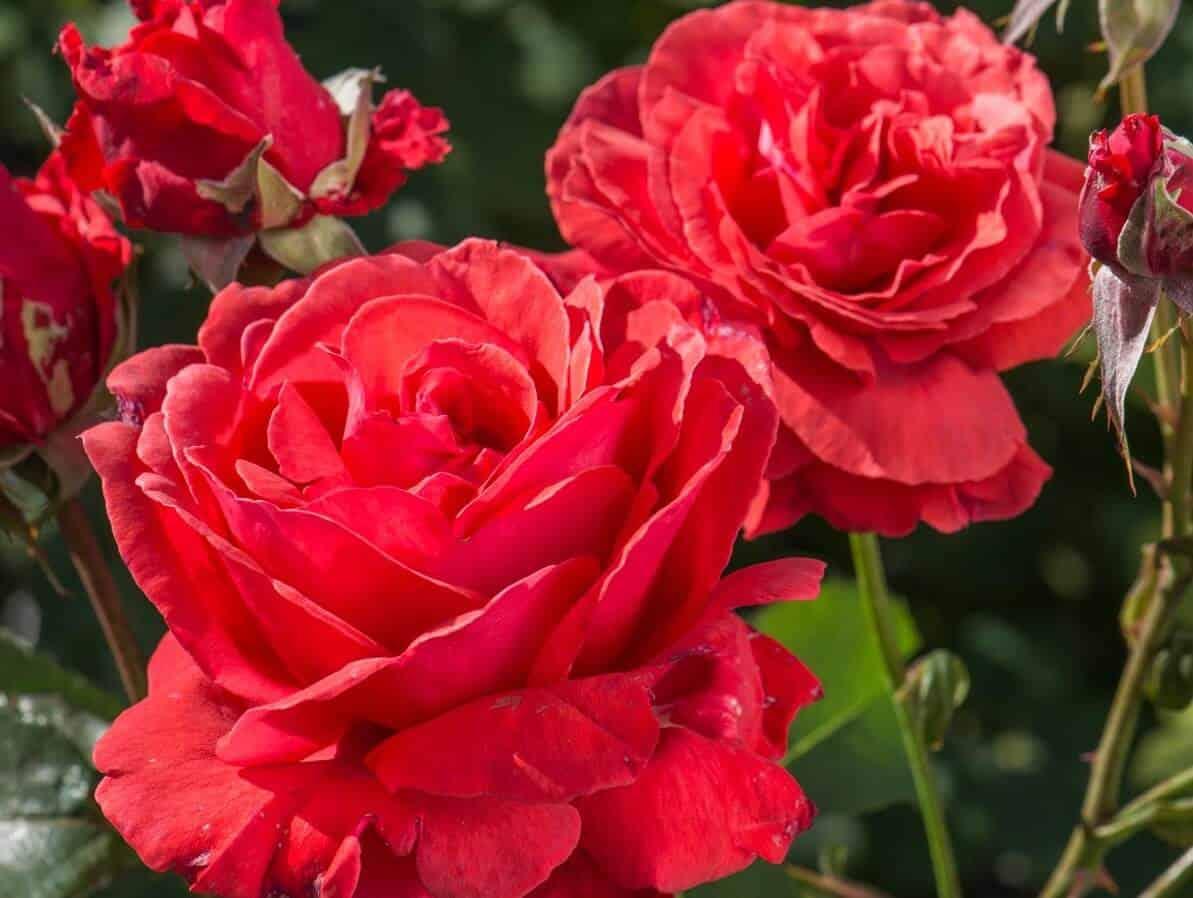 Most fragrant flowers - Fragrant Cloud Rose
