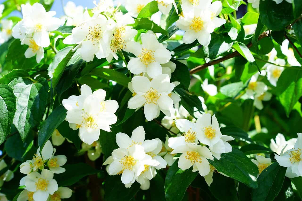 Most fragrant flowers - Mock orange
