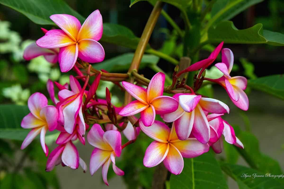 Most fragrant flowers - Plumeria