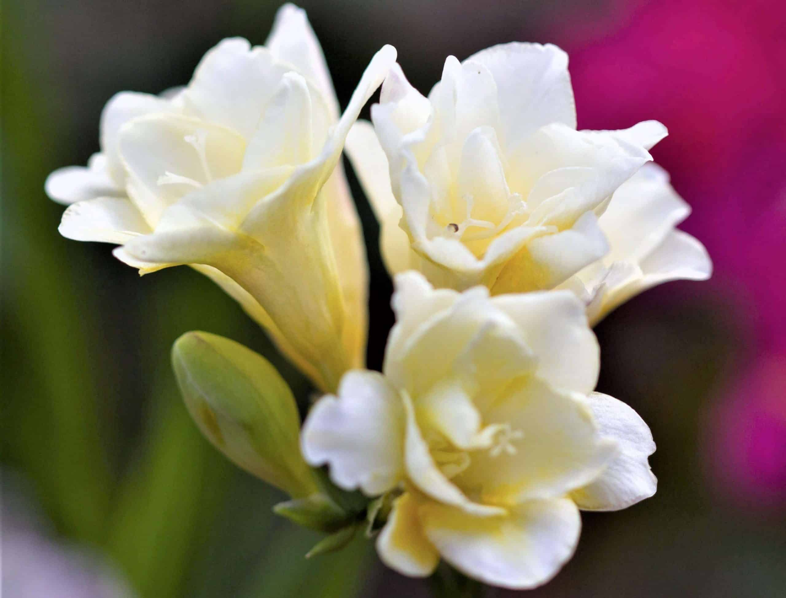 Most fragrant flowers - freesia