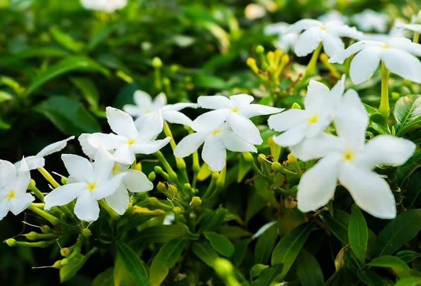 Most fragrant plant - Jasmine