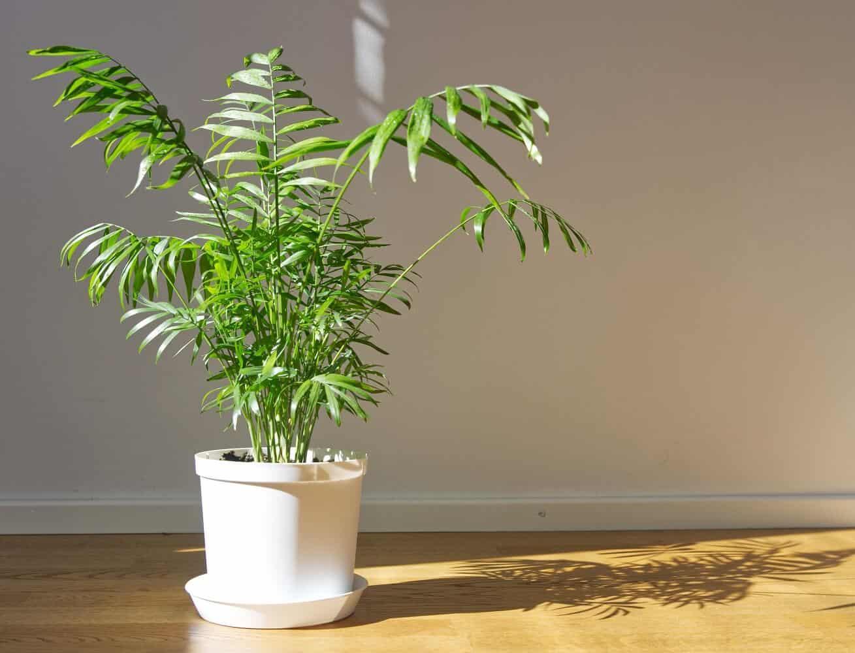 Parlor Palm Care – How to Grow & Maintain Chamaedorea elegans