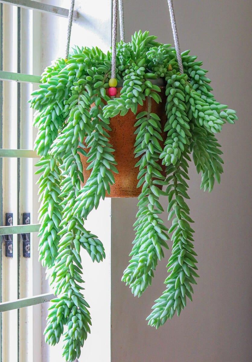 Trailing succulents - Burros Tail - Sedum morganianum