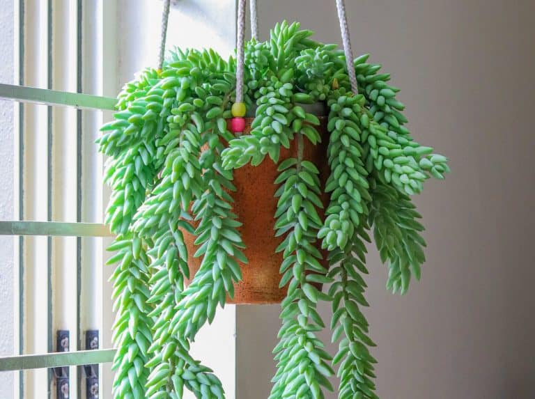 Trailing succulents for hanging baskets featured - burro's tail