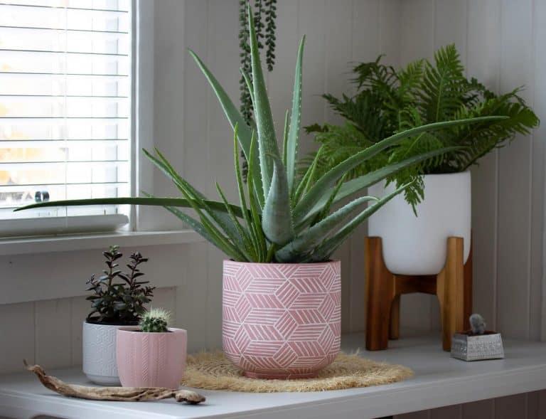 9 Common Aloe Vera Plant Care Problems