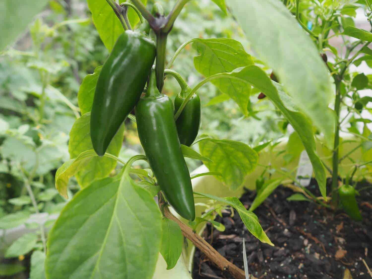 Jalapeno Plant Care: How to Grow and Care for Jalapenos