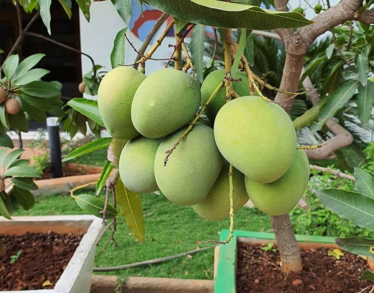 How to Grow Mango From Seed – Step by Step