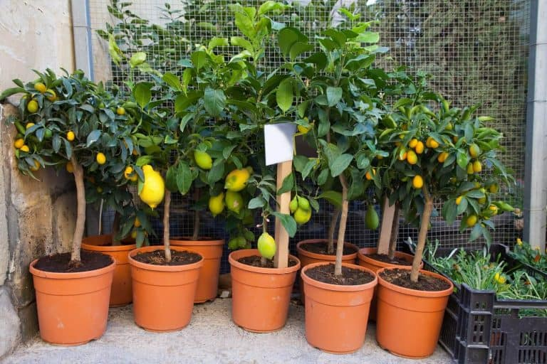 5 Step Process on How to Grow a Lemon Tree from Seed in Containers