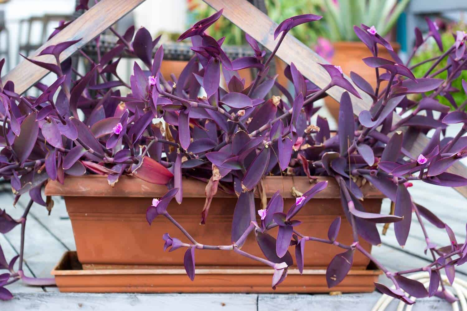 9 Essential Tips for Wandering Jew Plant Care