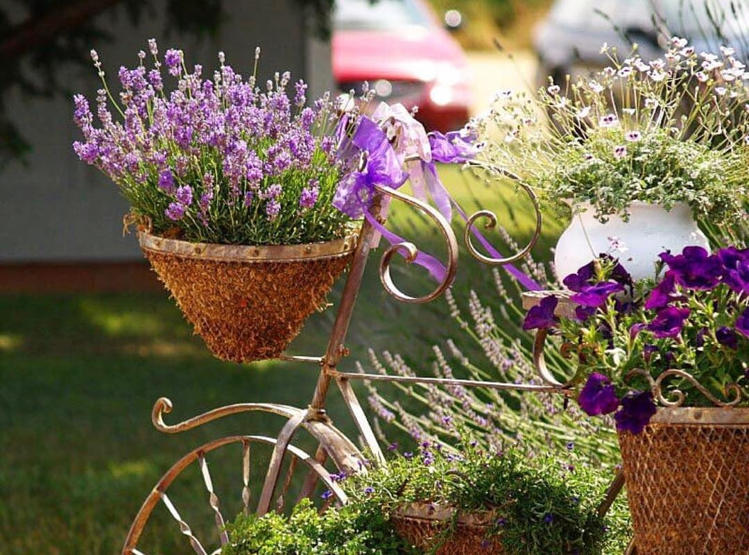 Growing lavender in pots featured