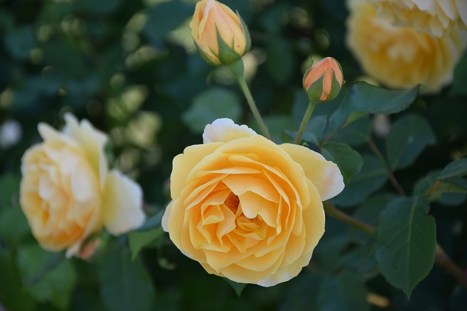 Rose bud - featured